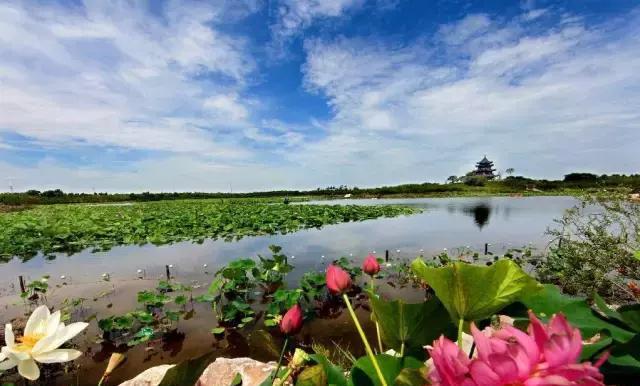 """明天起上海进入赏荷季,""""夏雨荷""""在哪里图片"""
