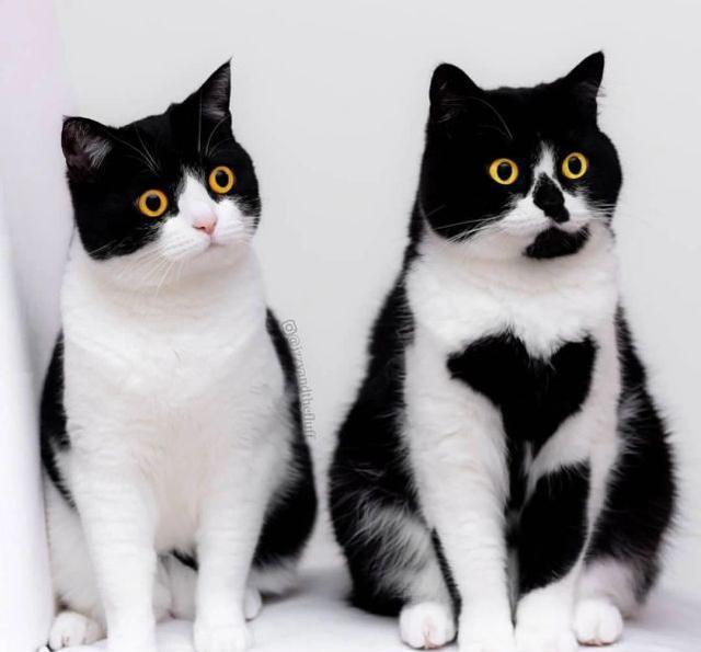 两只来自外国的可爱奶牛猫咪|猫咪|奶牛|大头贴_新浪网