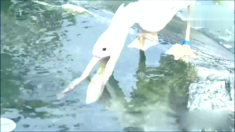 鹈鹕大嘴巴 你这是在抓泥鳅还是在玩泥鳅啊!