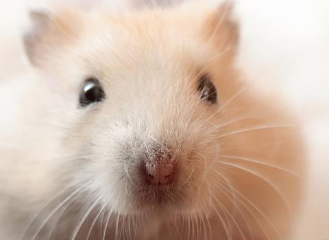 圆鼓鼓的仓鼠团子很可爱,并且手感极佳,但仓鼠太胖可不是好事!