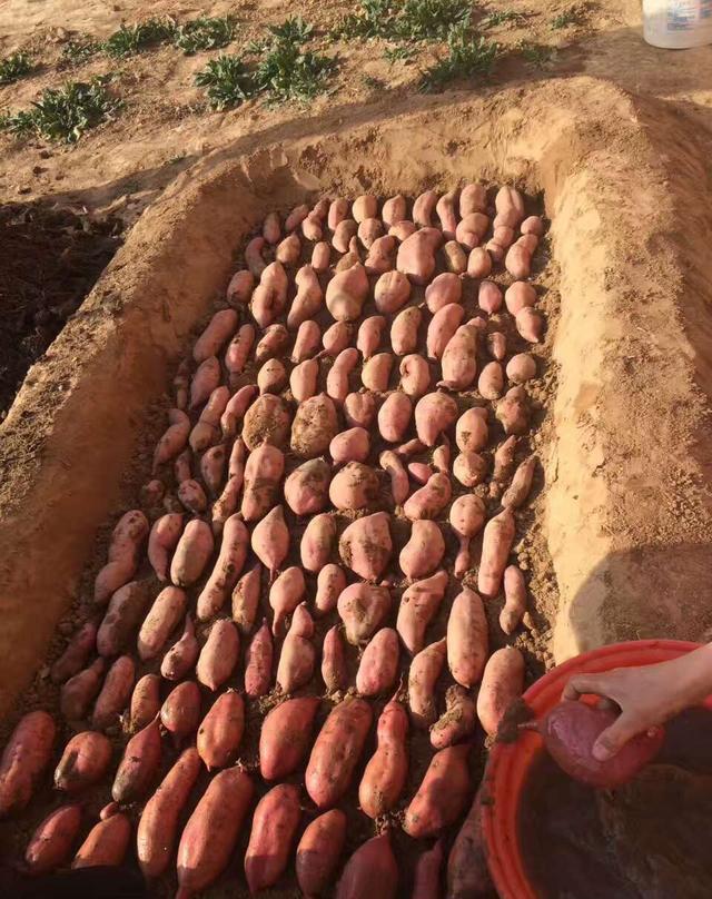 梦见好多红薯长在土里