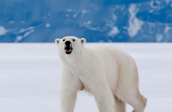 动物低,所以很少有动物生存,而温度上皮毛最a动物的世界,北极熊便靠北极熊为什么北极狐图片