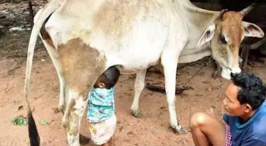 父母不在身边, 农村小孩找大母牛喝奶!