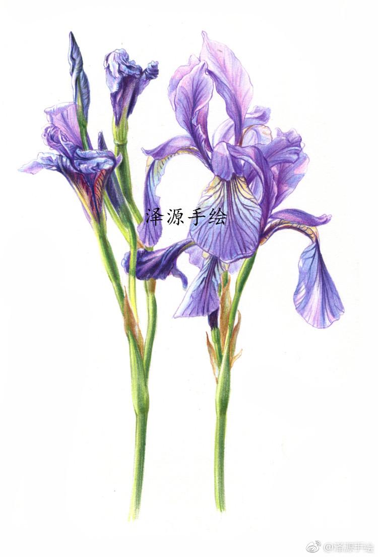 鸢尾花!红辉水溶72色绘制,泽源彩铅手绘向您推荐了一节人气好课
