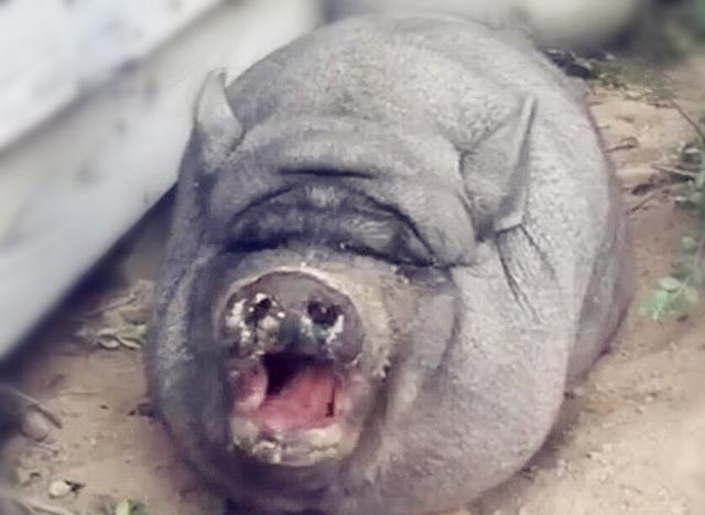 小黑猪肥的可爱