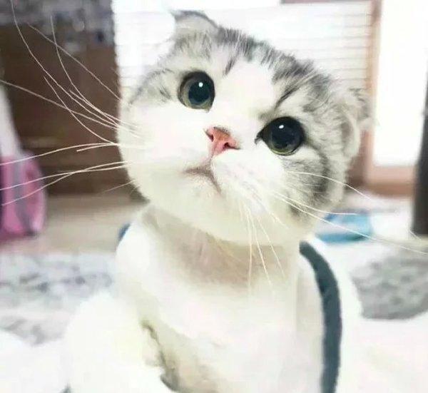 应该有种猫,叫折耳猫吧,那还有什么猫最可爱?