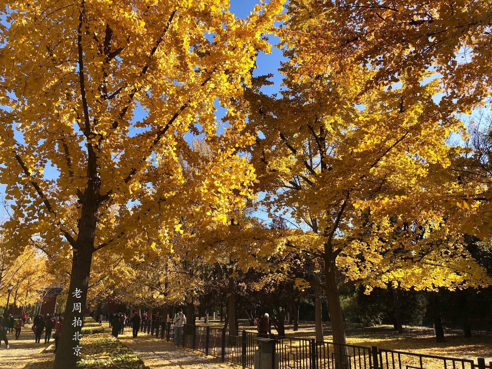 地坛公园银杏树_金黄色彩叶欣赏:蓝天下的银杏树,北京地坛公园05