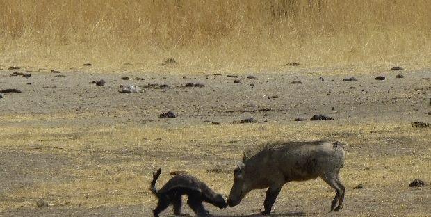 """世界上最勇敢彪悍的动物——""""拼命三郎""""蜜獾, 不服就"""