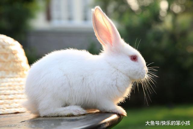 是个动物都能被欺负的兔子, 为什么还能在十二生肖中排第四呢?图片