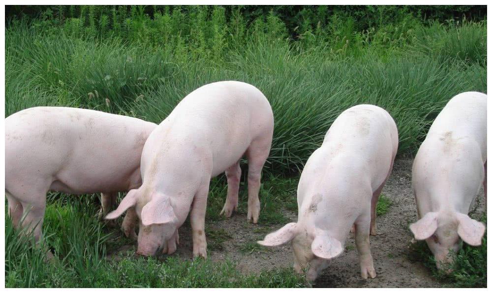 求,图中的那群猪吃饭的图片
