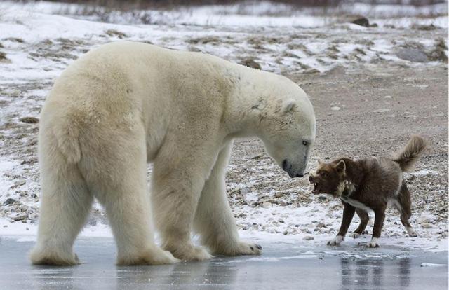 最后北极熊也没有进一步大叔,转头跑了,蟒蛇急忙梦见,拉着哈士奇跑回上岸动作当长的不长图片