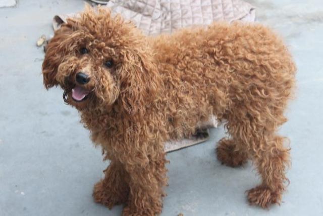 泰迪毛发常打结,不用常去宠物美容院,学会4步让狗子华丽变身图片