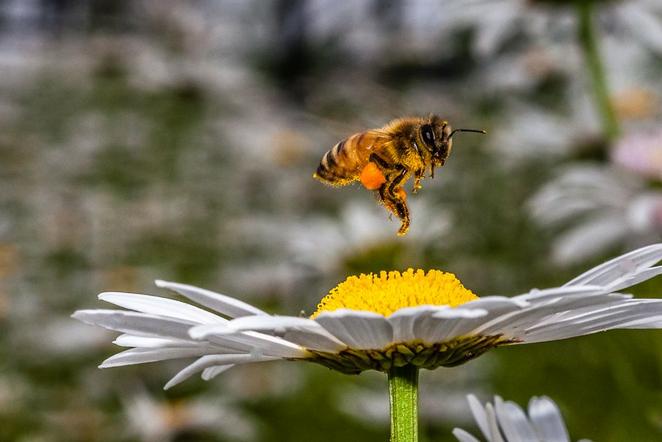 蜜蜂采了有毒的花,人们吃了蜂蜜却不v蜜蜂?最新北极熊的生存图片