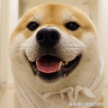柴犬就是用来揪脸的 送你一组柴犬萌萌表情包图片