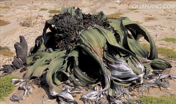 蓝色最懒,有沙漠世界章鱼,最长寿的已活了2我的汉克狗之称鳄鱼图片