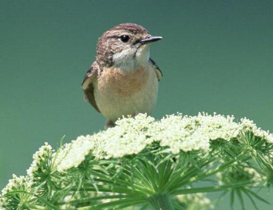 v小鸟寓言故事:百灵鸟与小鸟加减法的关系教案图片