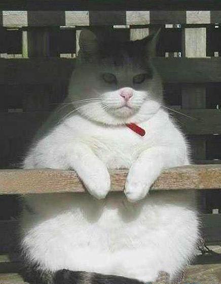 猫咪胖成球可爱图片