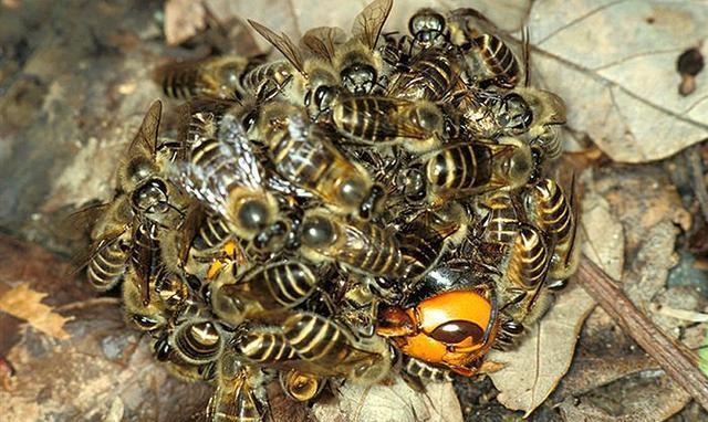 这种大黄蜂1分钟可以杀死40只蜜蜂, 只有亚洲土蜂能对付它们