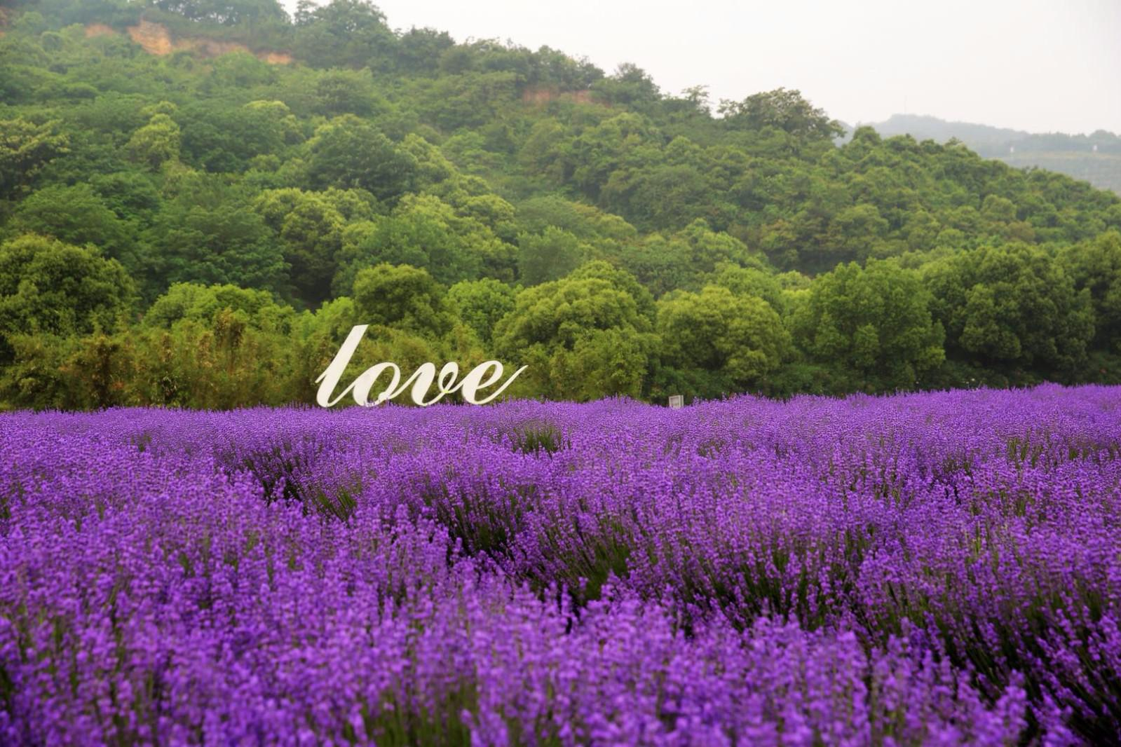紫色的浪漫,下雨也抵挡不住要去看薰衣草的热情