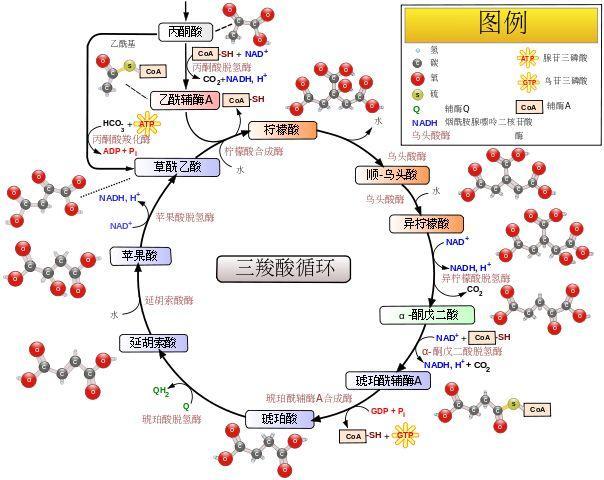 草酰乙酸结构