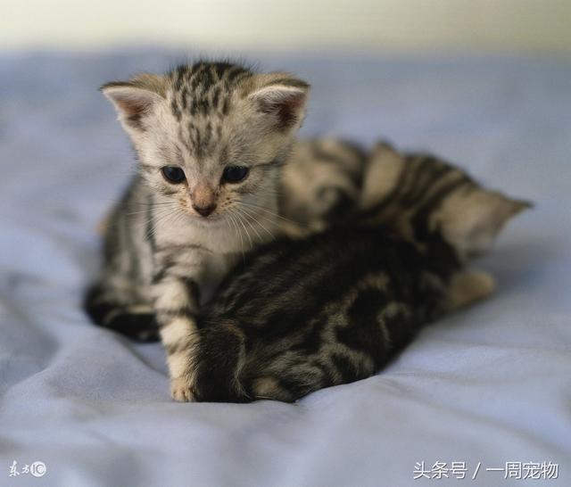 猫的起源:家猫的祖先是什么动物