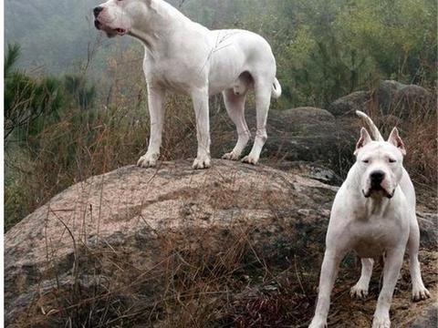 让野猪都心惊胆战的杜高犬,打猎的终极伴侣,猎犬杜高犬训练方法