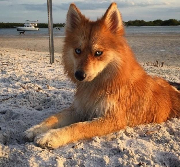 狗跟狐狸杂交_一只长得像狐狸的杂交犬,非常萌萌的