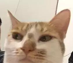 自从我迷恋上了沙雕猫咪表情包,整个人都变得傻吊了图片