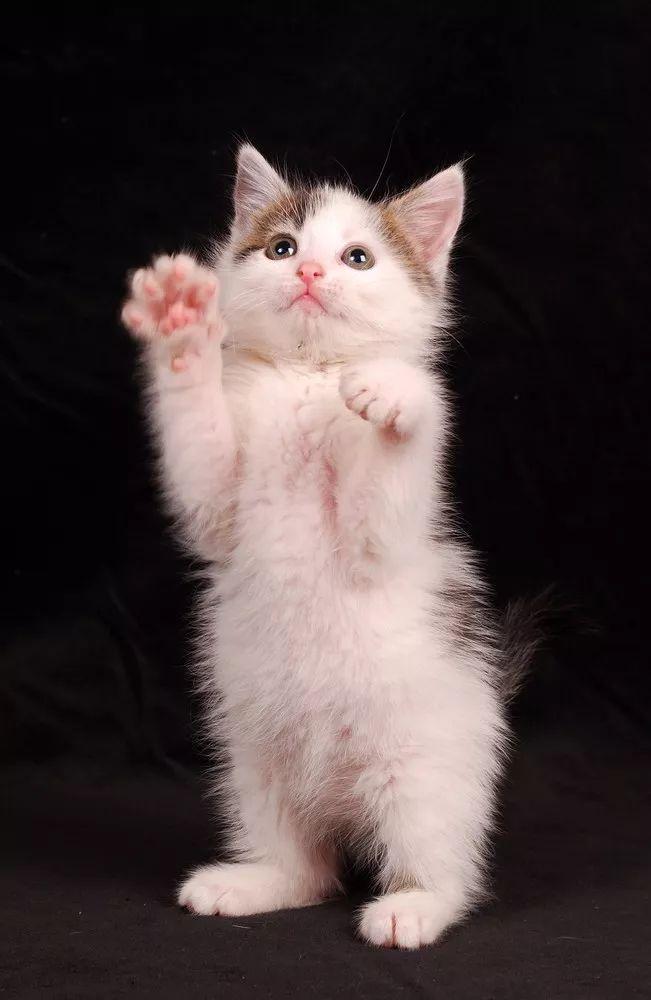 05 剪完给奖励 给剪完指甲后给猫猫一些小零食,让TA们把奖励和剪指甲联系起来,这样的正向鼓励可以帮助TA们爱上剪指甲,熟悉后就不会那么困难了~要注意的是,如果修剪途中猫咪反应很大,请及时中断,不要让TA们产生剪指甲=很讨厌的联想。