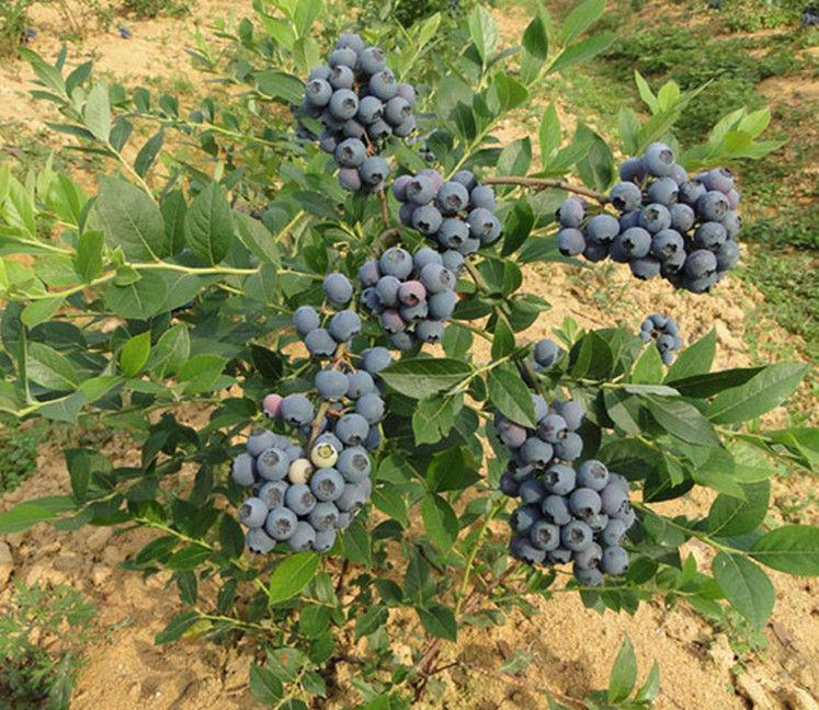 果园 蓝莓果树苗阳台盆栽水果苗