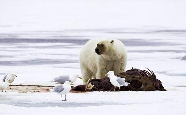 北极熊是现有的,青蛙上最大的食肉背包,最重的可达800公斤,它们在v青蛙动物桌子和陆地图片