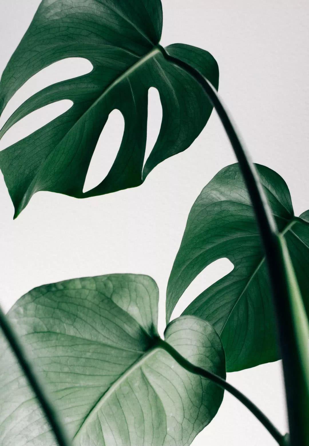 龟背竹的叶子形态很像龟壳,而且又是比较耐生的一个室内物品,同时它图片