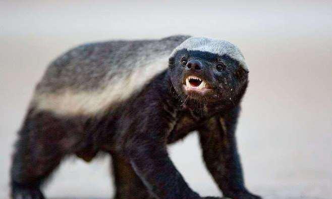 【蜜獾】蜜獾(m hun)是地球上最勇敢无畏的一种动物,江湖人称平头哥,甚至平头哥的叫法比蜜獾还要响亮。但很多人都把蜜獾读成蜜罐(m gun),连一些新闻都张口闭口一个蜜罐,把大家都误导了。不知道的人还以为它是盛装蜂蜜的罐子呢。