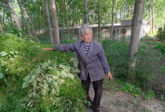 草老太_72岁农村老太太,每天天不亮割草两大车
