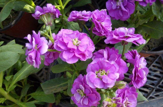 五月农村这些植物浑身是宝,带回家好看,保健养生效果好