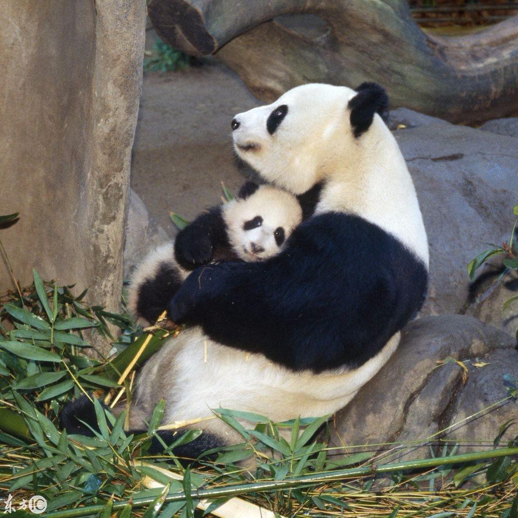 国宝大熊猫妈妈哄孩子睡觉(图片来自东方ic)_新浪看点