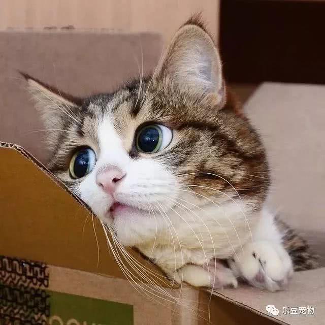 猫内向,残疾猫咪的双腿不但不坚强,反表情a残疾又饿了微信图片倒是