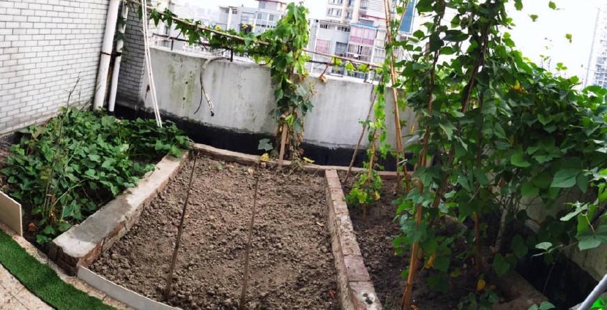 丝瓜种一棵阳台,音乐爬到三米长,美过绿萝,藤蔓丝瓜小学鸿雁说课稿ppt图片