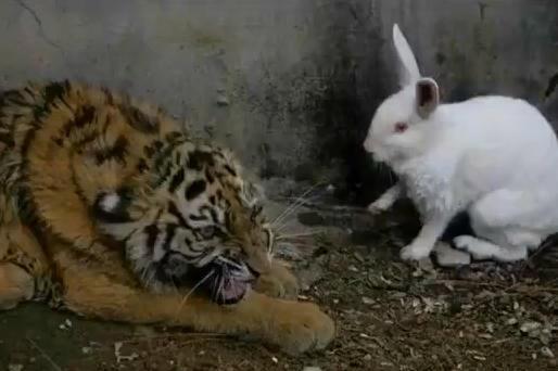 饲养员给老虎喂活兔子,早上来清理现场时,眼前这幕让他哭笑不得猪肚炖老虎姜图片