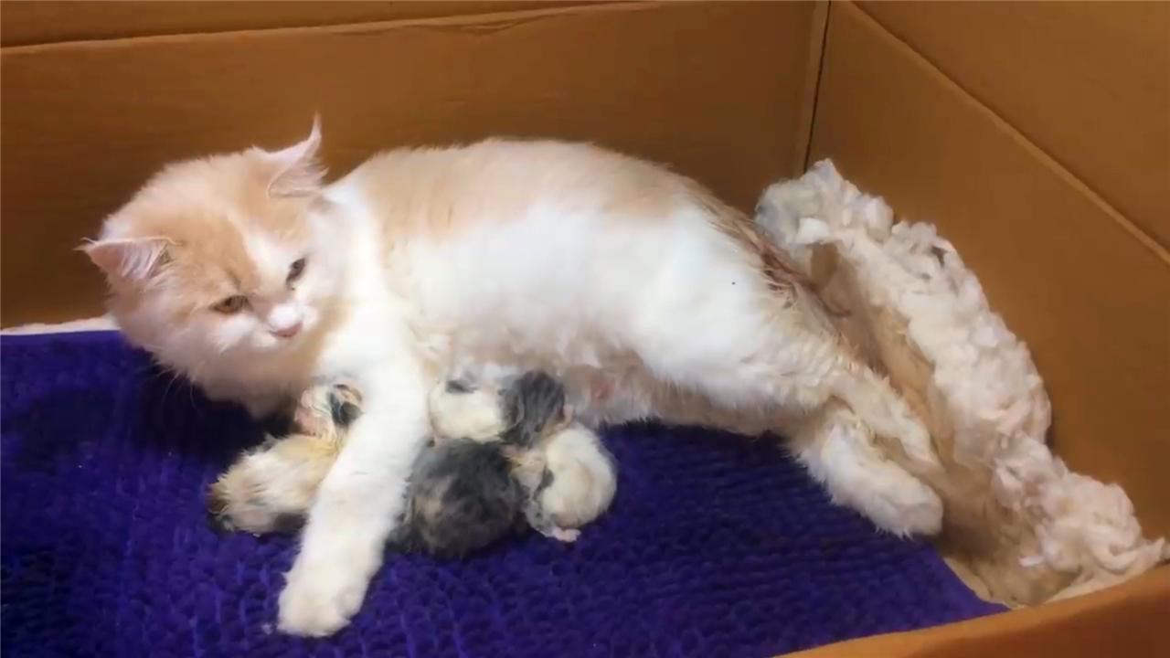 正在生产的猫妈妈坐立不安也坚持只为迎来一窝新生命