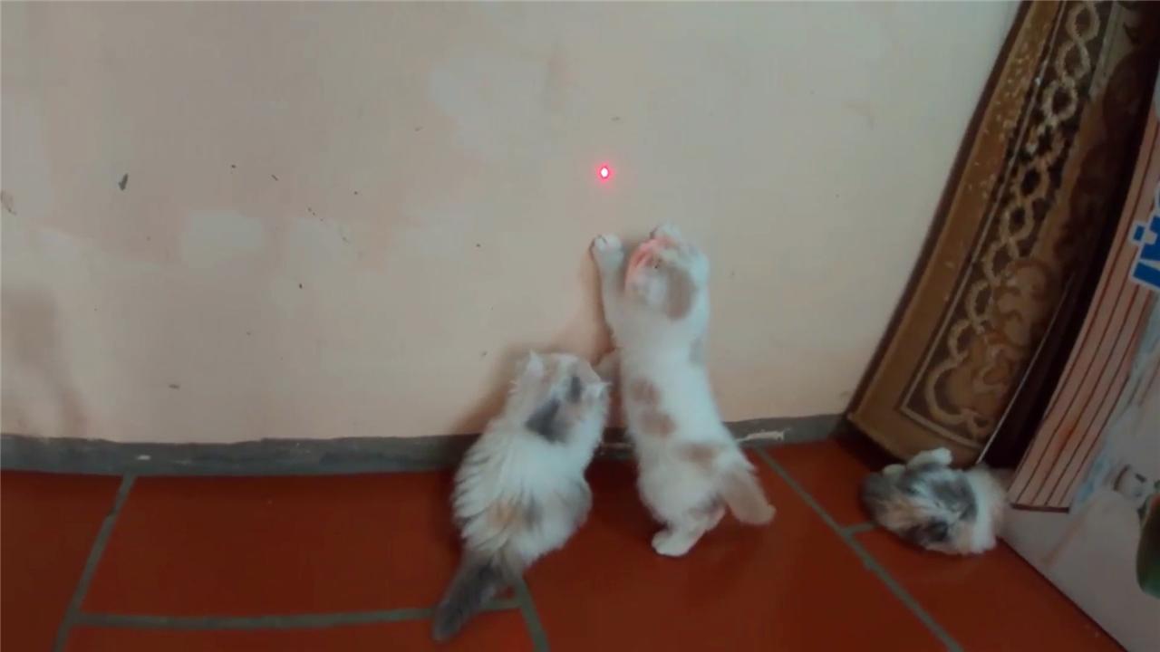 一窝小奶猫第一次见到小红点纷纷扑上去模样真的太奶萌了