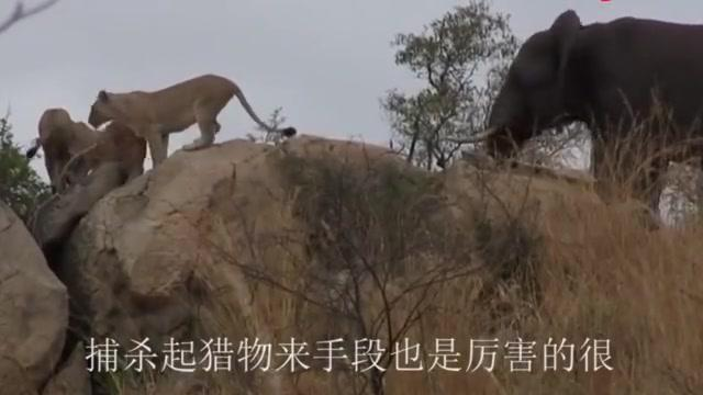 狮子和老虎为什么不吃大熊猫?大熊猫:请查一下老子之前叫啥好吗