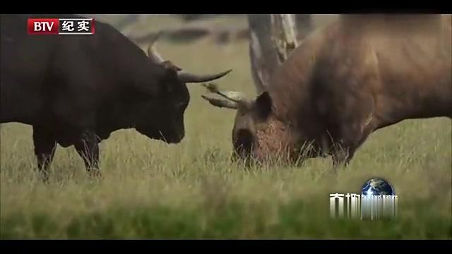 """奇趣自然:动物也会""""一怒为红颜"""",两公牛为母牛打架,谁能赢?"""