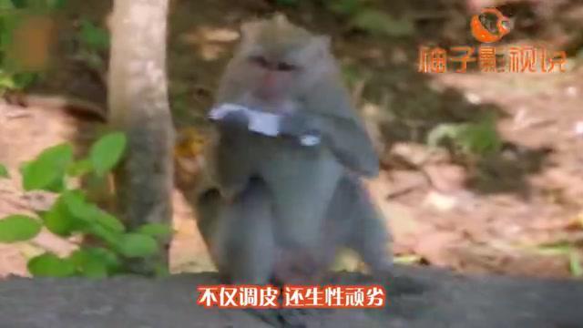 公猴子给母猴抓虱子,捉着捉着就开始不着调了,镜头全程跟拍