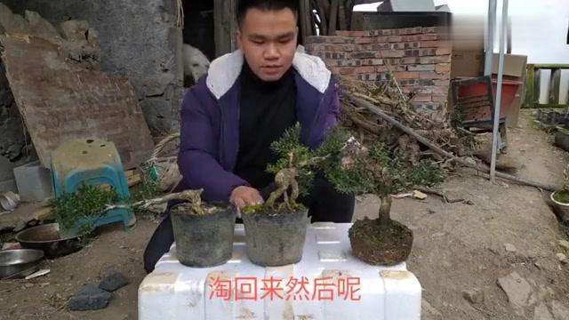 贵州米叶黄杨有何特点?叶小如米粒  十年长一公分的黄杨树种