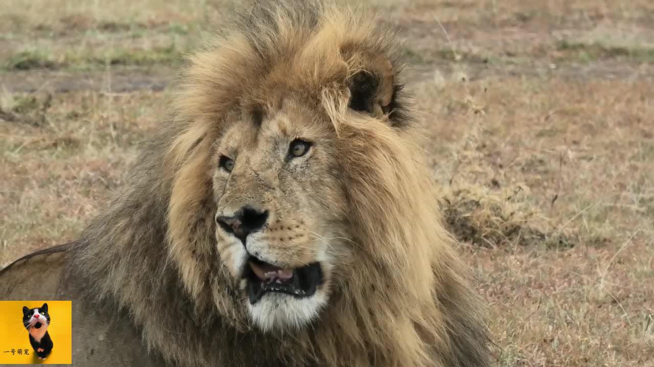 肯尼亚最大的雄狮巡视自己的领地威风凛凛一看就是霸主