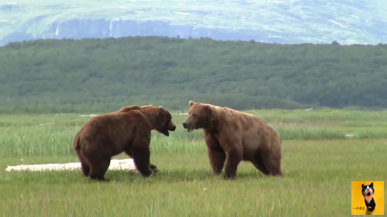 阿拉斯加灰熊大战打完之后撒尿宣誓了主权输的乖乖溜走