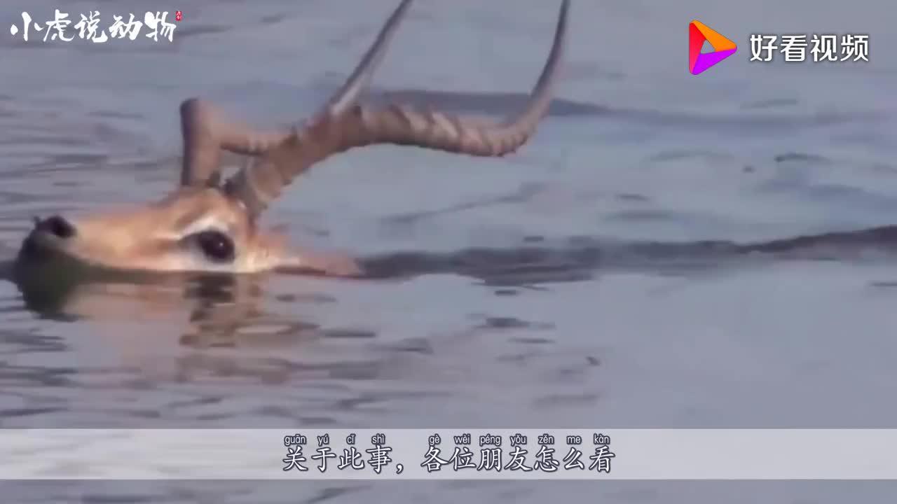 鬣狗野狗轮番攻击羚羊羚羊退守水潭奋力反击最后竟奇迹般生还