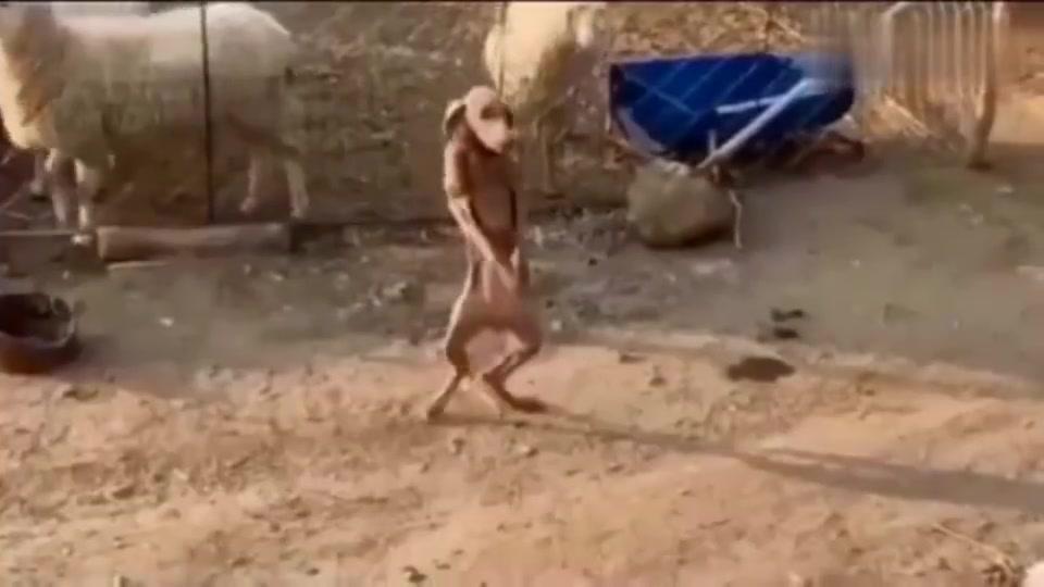狗狗带来的欣赏霹雳舞,这个能上几级?