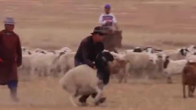 蒙古族宰羊不割脖子,直接从腹部扎入心脏,手法堪称一绝